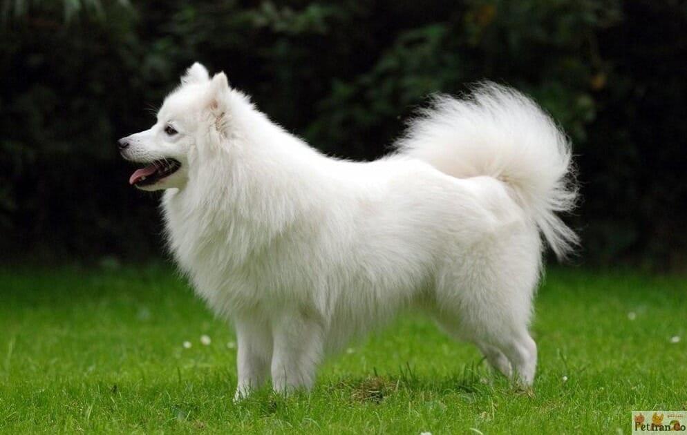 مشخصات نژاد اشپیتز سگ